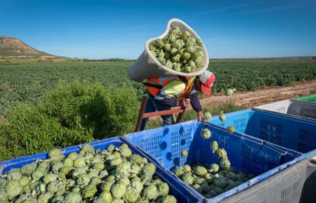 Un trabajador recolectando alcachofa de Tudela